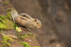 Nothern palm squirrel (Funambulus pennantii) sitti. Ng on stone wall Royalty Free Stock Images