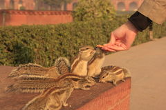 Nothern palm squirrels (Funambulus pennantii) eati. Ng from hand royalty free stock photo