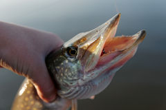 Nothern pike in fisherman's hand Stock Photos