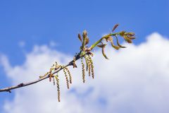 Nothern Red or champion oak Quercus rubra blossom macro against blurred sky, selective focus, shallow DOF.  Royalty Free Stock Photo