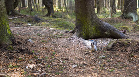 Nothern squirrel in pine forest Royalty Free Stock Images
