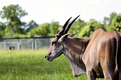 Nothing Common About This Common Eland Stock Photos