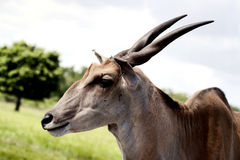 Nothing Common About This Common Eland Royalty Free Stock Photos