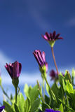 Nothing but flowers. Close up of a field of flowers against a deep blue sky Stock Images
