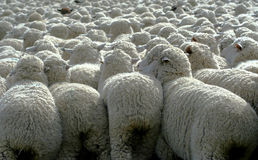 Nothing But Wool 3. Large herd of sheep heading south for winter pasture Stock Photo