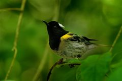 Notiomystiscincta - Stitchbird - Hihi stock afbeeldingen