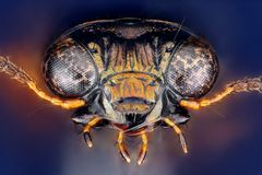 Notiophilus palustris head taken with microscope objective stacked from many shots Stock Photography