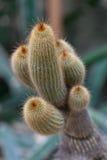 Notocactus Leninghausii Immagini Stock Libere da Diritti