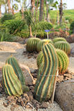 Notocactus magnificus Royaltyfria Bilder