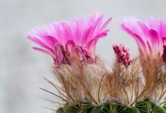 Notocactus Mammulosus purpurowy Kaktusowy kwiat Obrazy Royalty Free