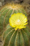 Notocactus plant with yellow flower Stock Photos
