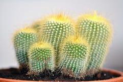 Notocactuses Stock Photo