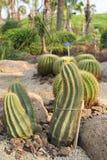 Notocactusmagnificus Royalty-vrije Stock Afbeeldingen