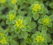 Notoginseng yellow flower of grass Stock Photo