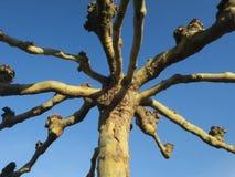 Notorietà: albero annodato contro un cielo blu luminoso fotografia stock