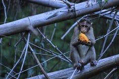 Notorious Indian Monkeys. Monkey eating mango while sitting on a bamboo Royalty Free Stock Photo