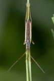 Notostira elongata Mirid bug Royalty Free Stock Image