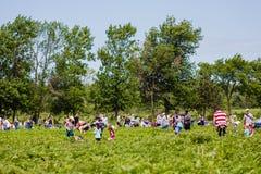 Notre-Dama-de-l ` Ile-Perrot, Quebec, Canadá - 24 de junio de 2017: Gente que escoge las fresas en la selección su propia granja  Imagen de archivo libre de regalías