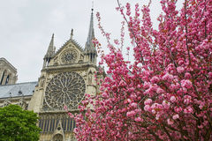 Notre-Dame de Paris with beautiful cherry blossom Stock Images