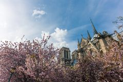 Notre-Dame de Paris on bright sunny day during cherry blossom season. Ancient catholic cathedral in Paris, France. Famous touristic places and romantic travel Stock Photos