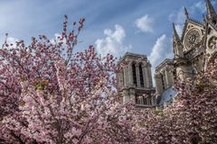 Notre-Dame de Paris on bright sunny day during cherry blossom season. Ancient catholic cathedral in Paris, France. Famous touristic places and romantic travel Royalty Free Stock Photo
