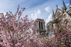 Notre-Dame de Paris on bright sunny day during cherry blossom season. Ancient catholic cathedral in Paris, France. Famous touristic places and romantic travel Royalty Free Stock Image