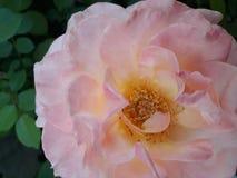 Notre Madame de Guadalupe Rose photo libre de droits