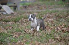 Notre nouveau kayce de chiot de pitbull marchant sur les feuilles et l'herbe Photo libre de droits