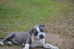 Notre nouveau kayce de chiot de pitbull s'étendant au sol Photos stock