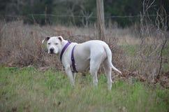 Notre sweetpea de chien à la ferme dans l'herbe grande Image libre de droits