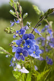 το μπλε με ξεχνά nots Στοκ Φωτογραφίες