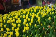 Notte del fiore dei tulipani in Tailandia Immagini Stock