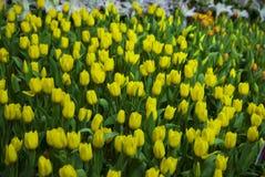 Notte del fiore dei tulipani in Tailandia Fotografie Stock
