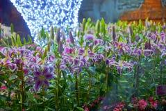 Notte del fiore del giglio in Tailandia Immagini Stock