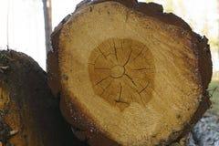 Notuj?cy, mn?stwo bele k?ama na ziemi w lasowych rozci?cie puszka drzewach, lasowy zniszczenie zamyka w g?r? drzewnego baga?nika obrazy stock