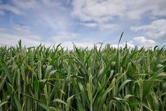 Notwheat or Unbearded wheat Royalty Free Stock Photo