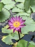Nouchali de Nymphaea ou lotus d'étoile ou nénuphar d'étoile photographie stock libre de droits