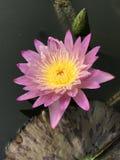 Nouchali del Nymphaea o lirio de agua de la estrella Foto de archivo libre de regalías