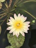 Nouchali del Nymphaea o lirio de agua de la estrella Imagenes de archivo