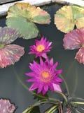 Nouchali del Nymphaea o lirio de agua de la estrella Imagen de archivo