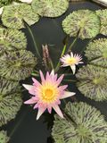 Nouchali del Nymphaea o lirio de agua de la estrella Fotos de archivo libres de regalías