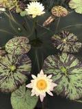 Nouchali del Nymphaea o lirio de agua de la estrella Imágenes de archivo libres de regalías