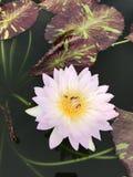 Nouchali del Nymphaea o lirio de agua de la estrella Foto de archivo