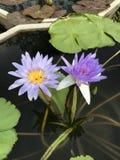 Nouchali del Nymphaea o lirio de agua de la estrella Fotos de archivo