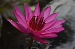 Nouchali Nymphaea - красное - цветок Manel лилии воды стоковое фото rf