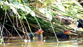 Nourishing coot, Voorstonden Pond, Holland stock video footage