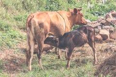 Nourrisson de vache et de veau à Brown dans une prairie un jour ensoleillé, Bhutan Photographie stock libre de droits