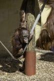 Nourrisson/enfant de Bornean Orangutam accrochant sur une corde Photos stock