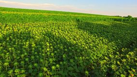 Nourriture écologique s'élevant sur des champs clips vidéos