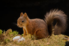 Nourriture d'écureuil Image libre de droits